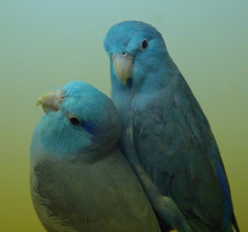 Himmelssperlingspapagei-Blau 11 Coesfeld