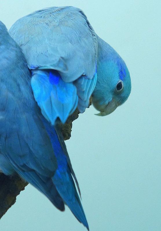 Himmelssperlingspapagei-Blau 7 Coesfeld