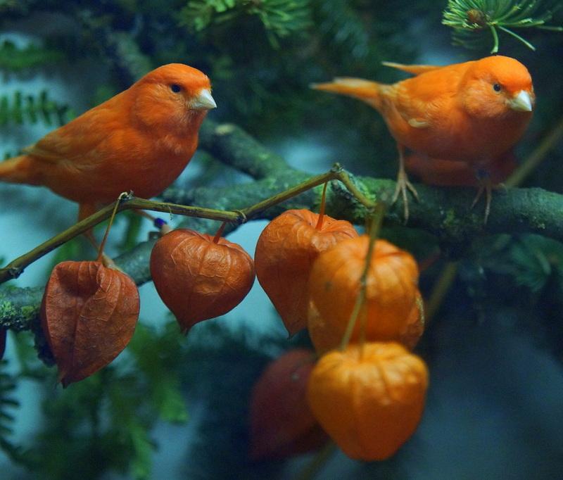 Kanarienvogel 5 Coesfeld