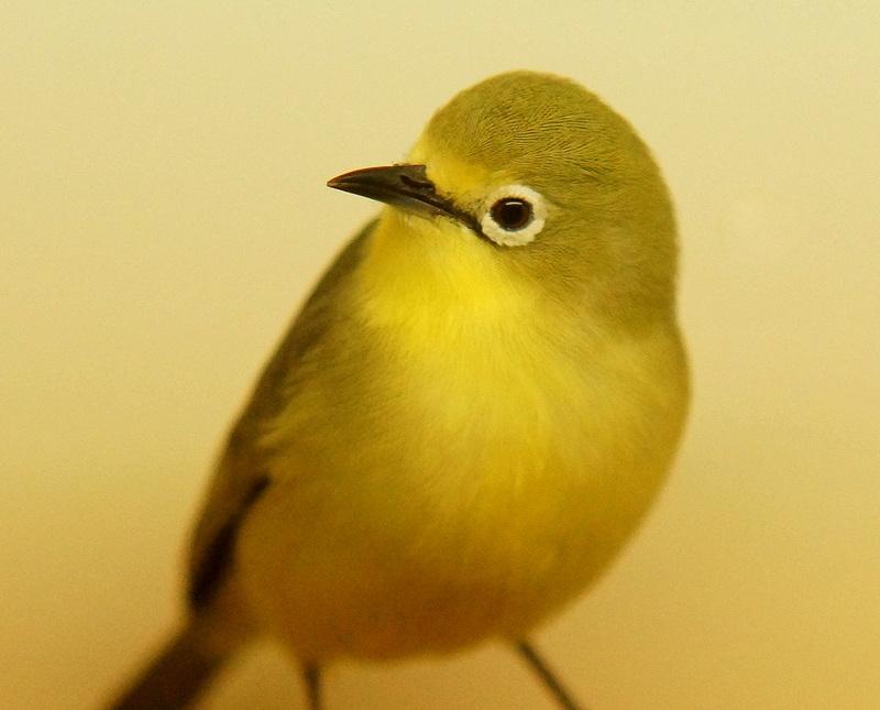 Senegal-Brillenvogel 10 Coesfeld