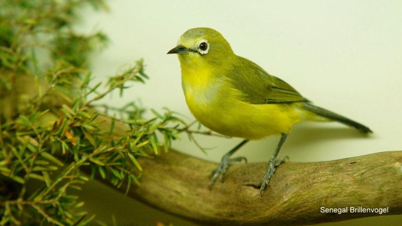Senegal-Brillenvogel 3 Coesfeld